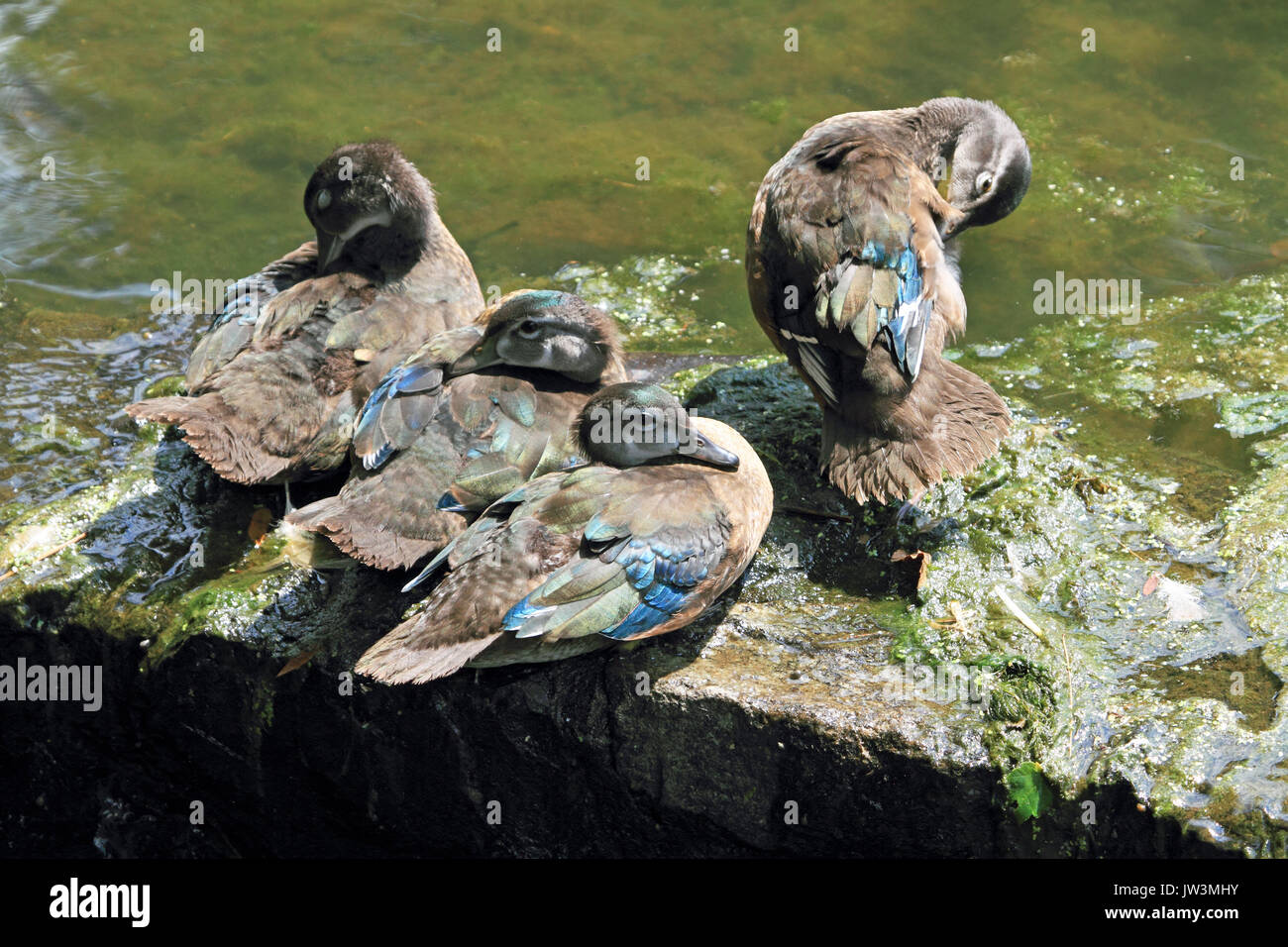 Wood Duck, Aix sponsa, juveniles huddling at the waters edge - Stock Image