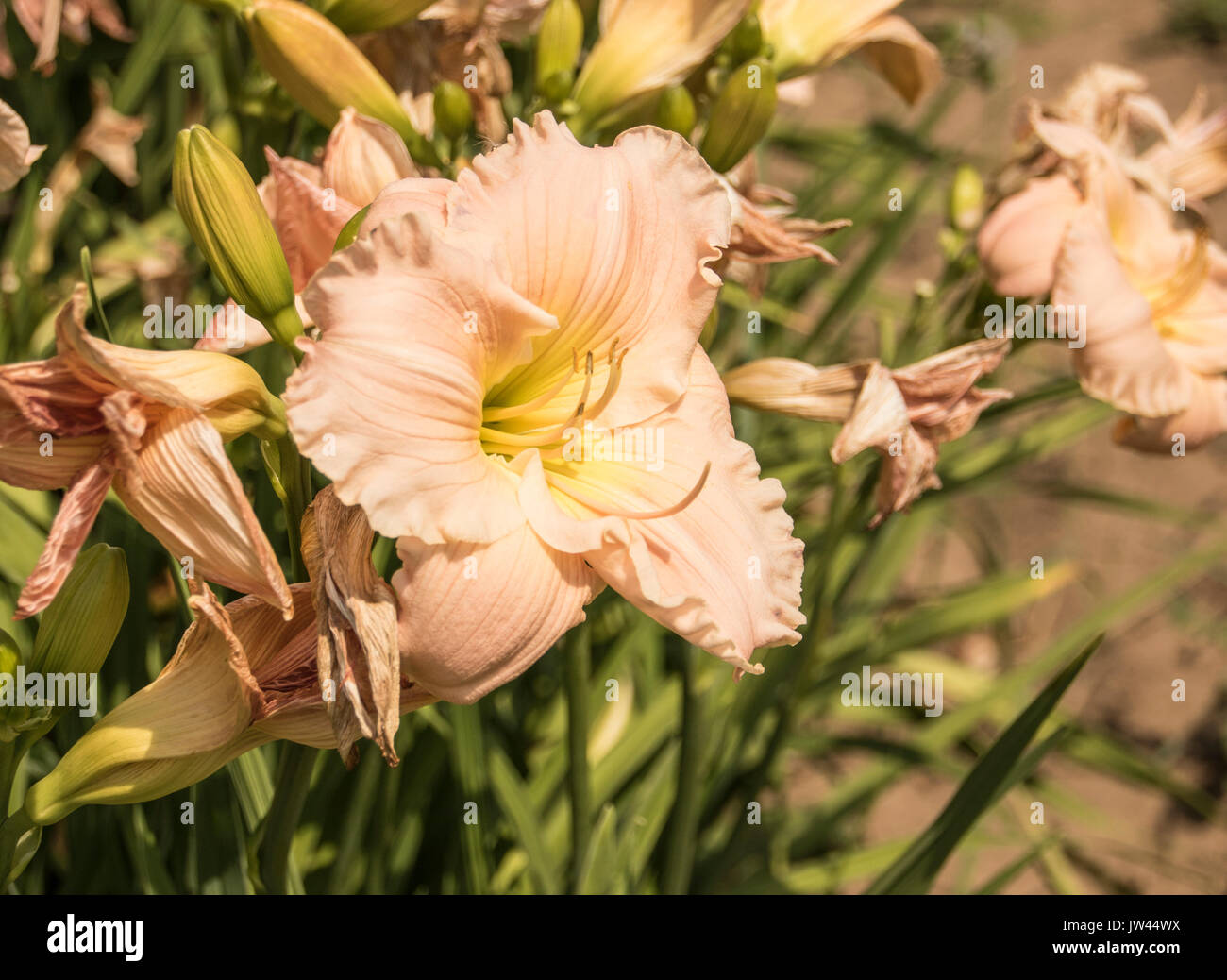 The Flower on a peach Lily photographed up close, with blurred out background Stock Photo