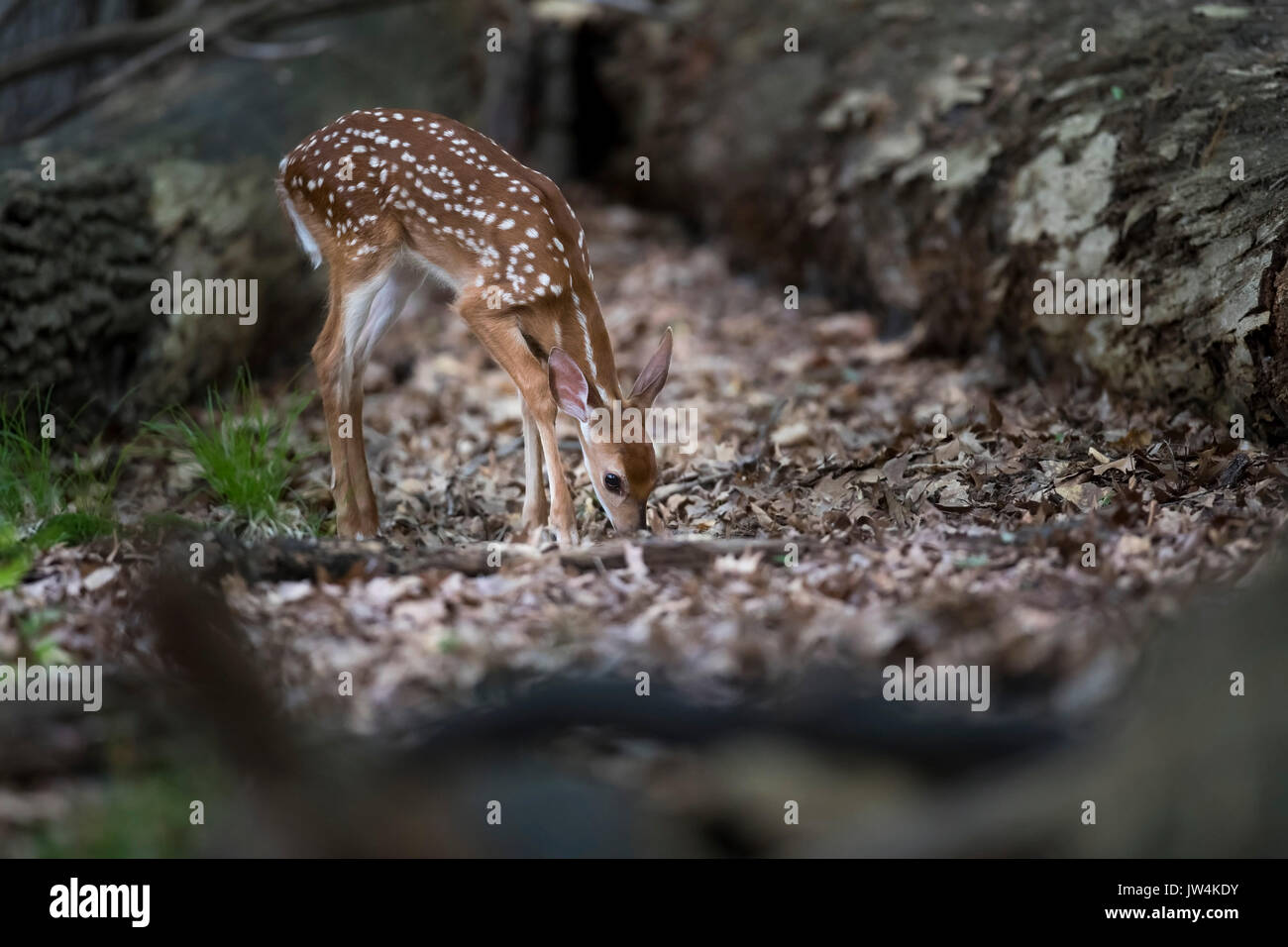 A fawn whitetail deer looking for food. - Stock Image