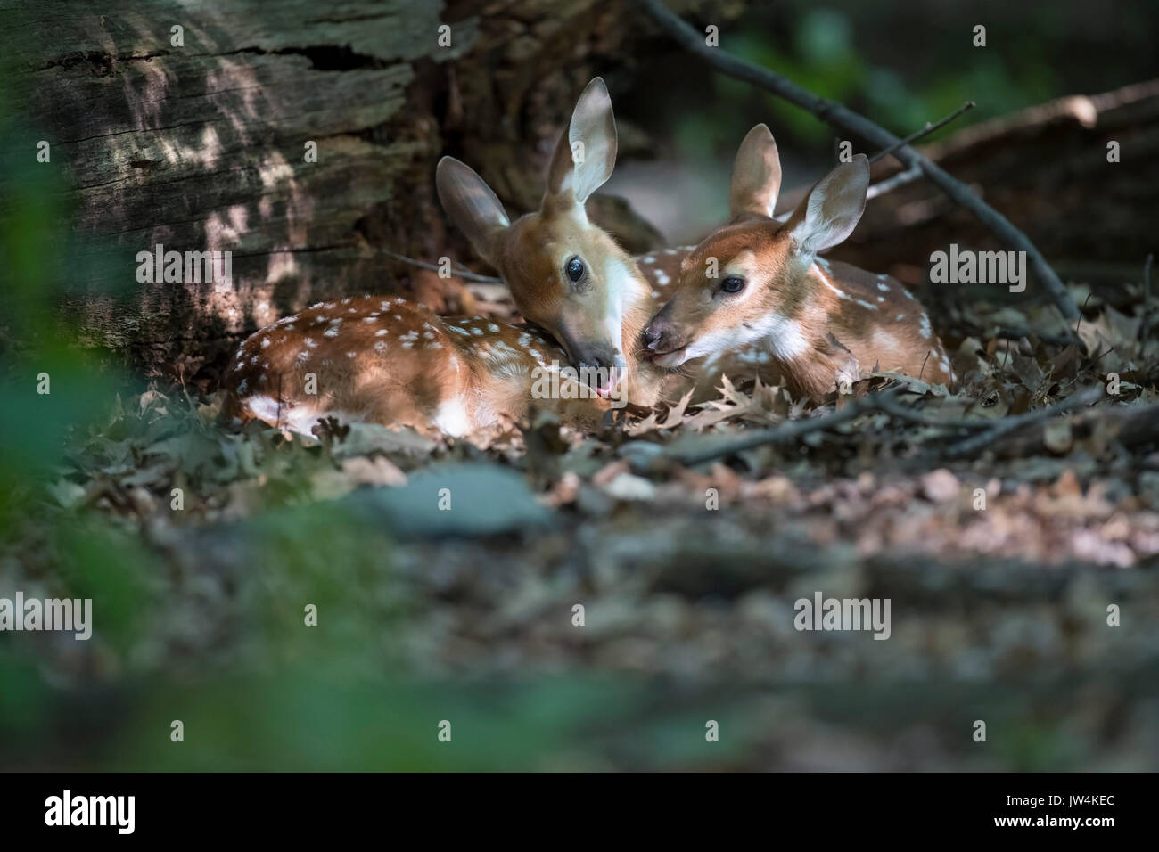 Two fawn deer resting together. - Stock Image