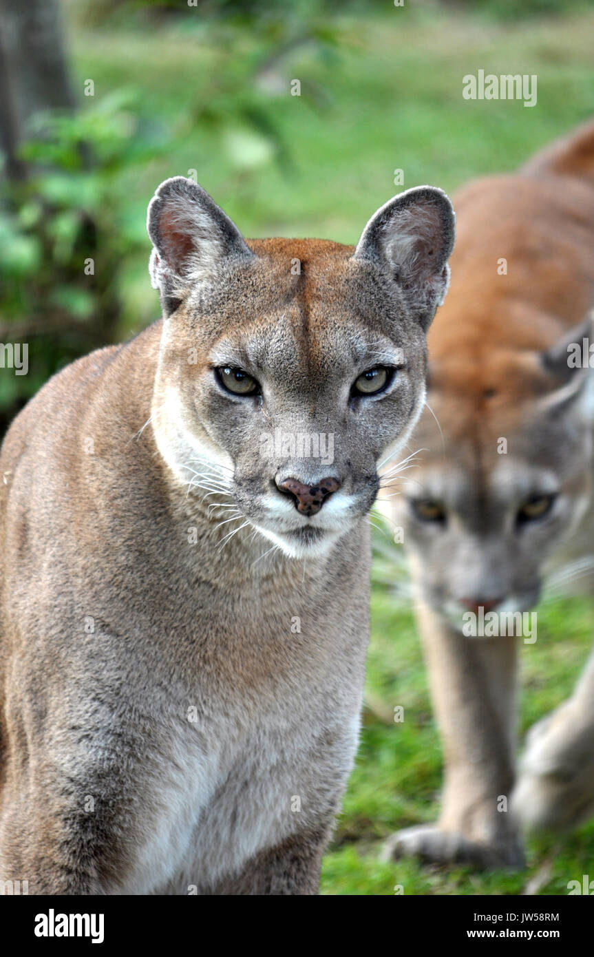 Dating cougars and panthers — 8