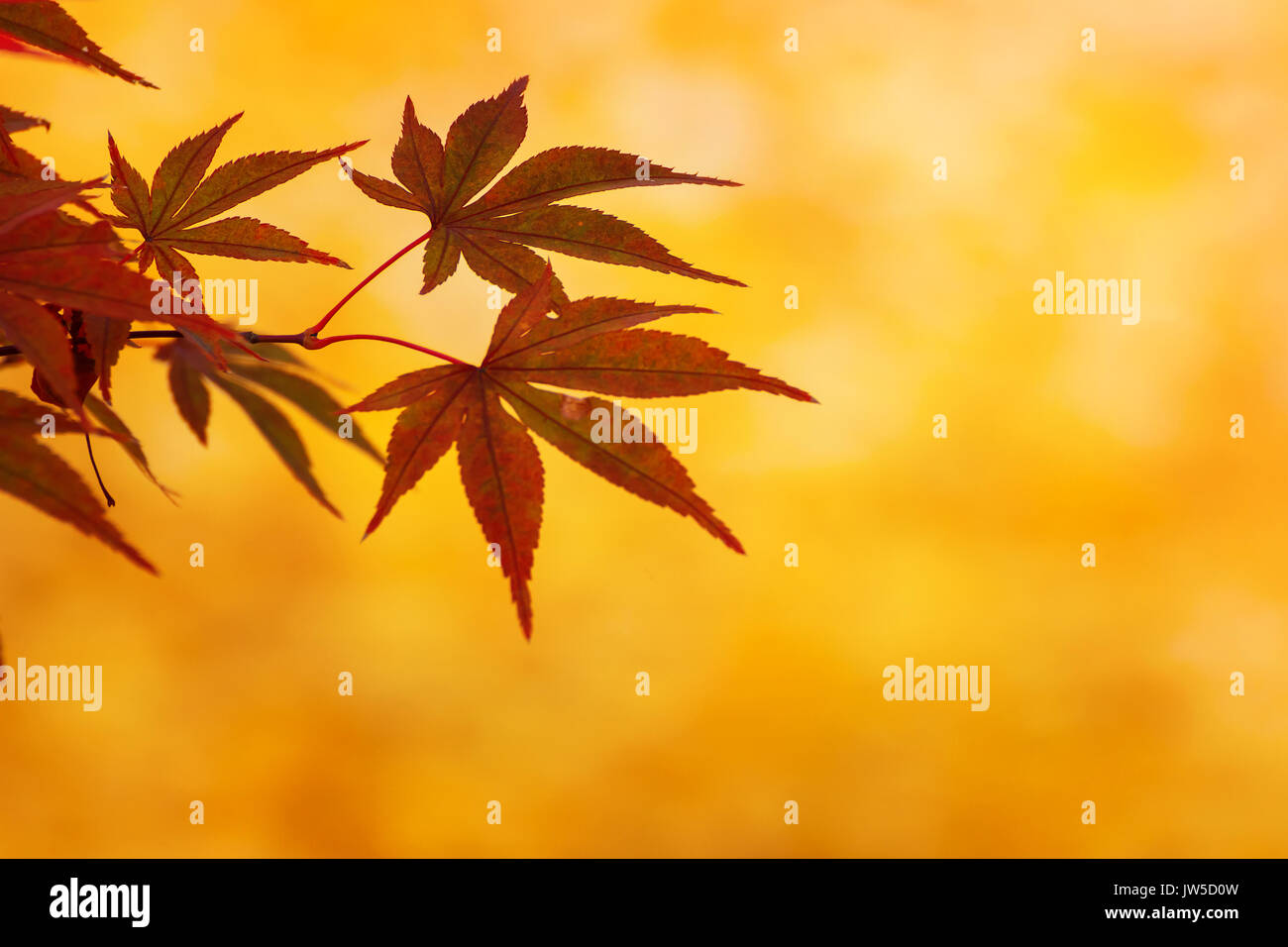 Colorful Maple Leaves in Autumn - Stock Image