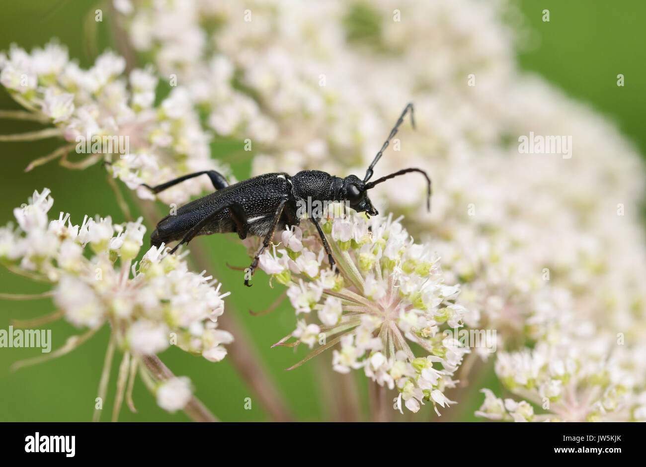 A pretty Black Longhorn Beetle nectaring on a flower. - Stock Image