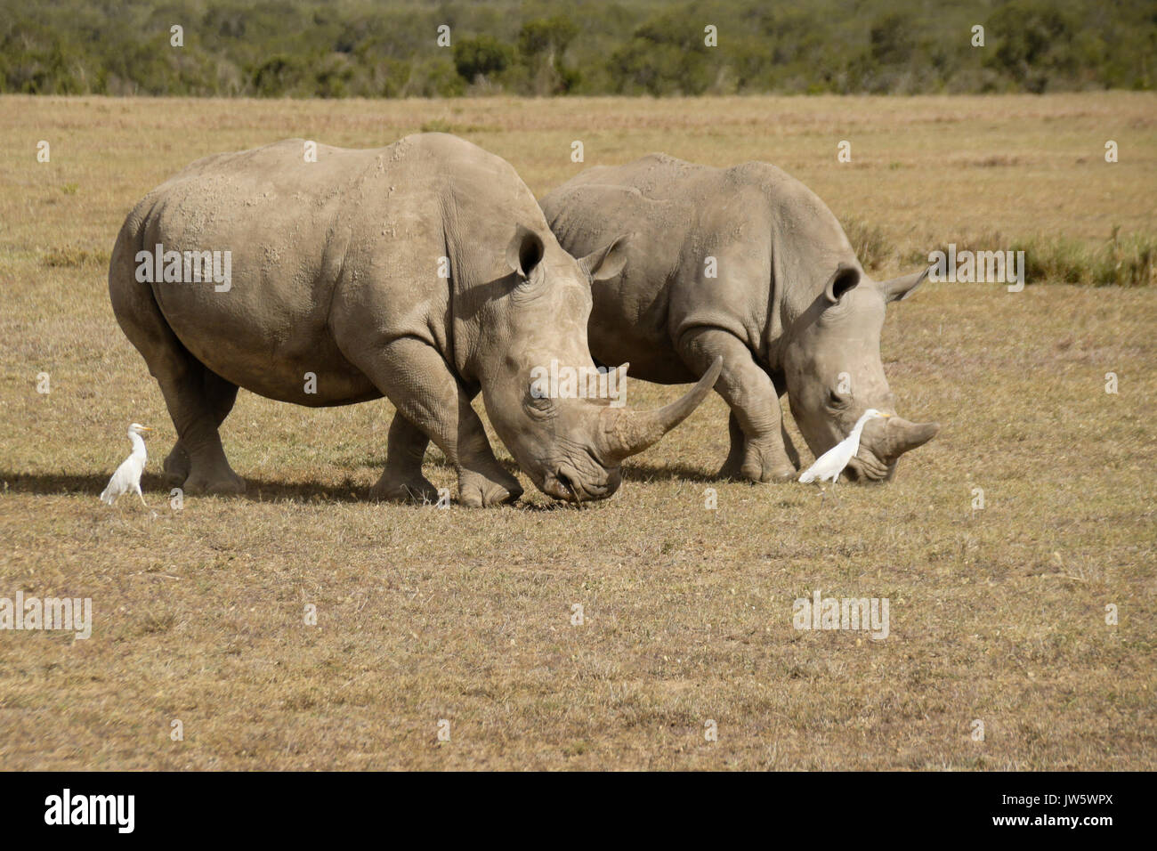 White rhinos grazing, cattle egrets following for insects, Ol Pejeta Conservancy, Kenya - Stock Image