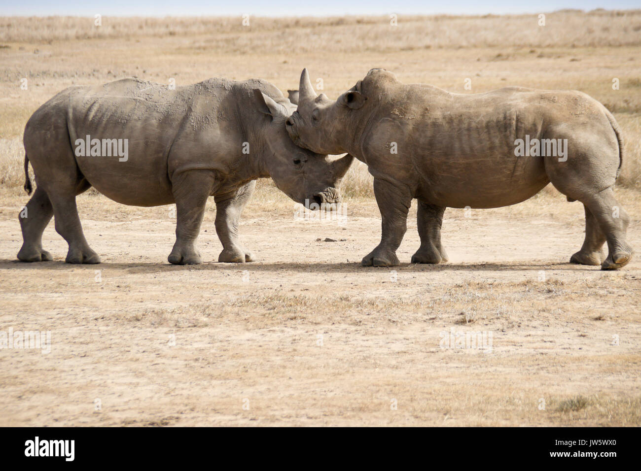 Male white rhinos mock fighting for dominance, Ol Pejeta Conservancy, Kenya - Stock Image
