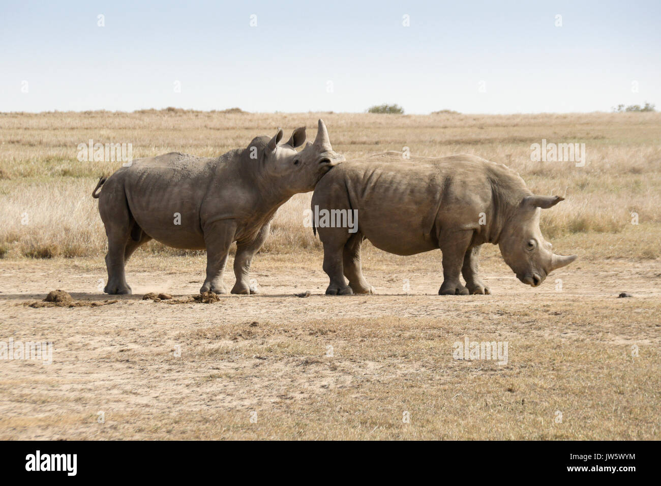 Male white rhino showing dominance over submissive male after friendly sparring, Ol Pejeta Conservancy, Kenya - Stock Image