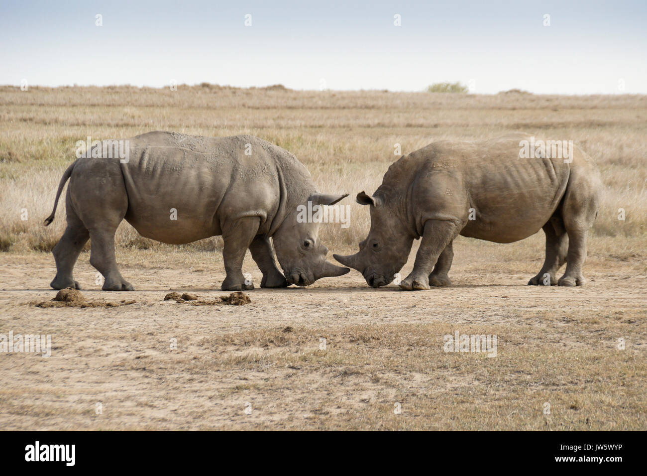 Male white rhinos mock fighting for dominance, Ol Pejeta Conservancy, Kenya - Stock Image