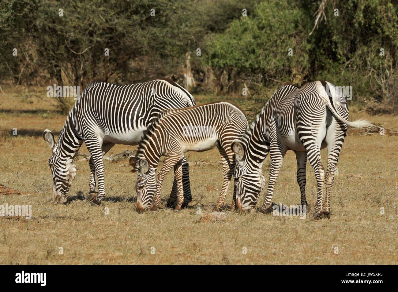 Grevy's zebras grazing, Samburu Game Reserve, Kenya Stock Photo