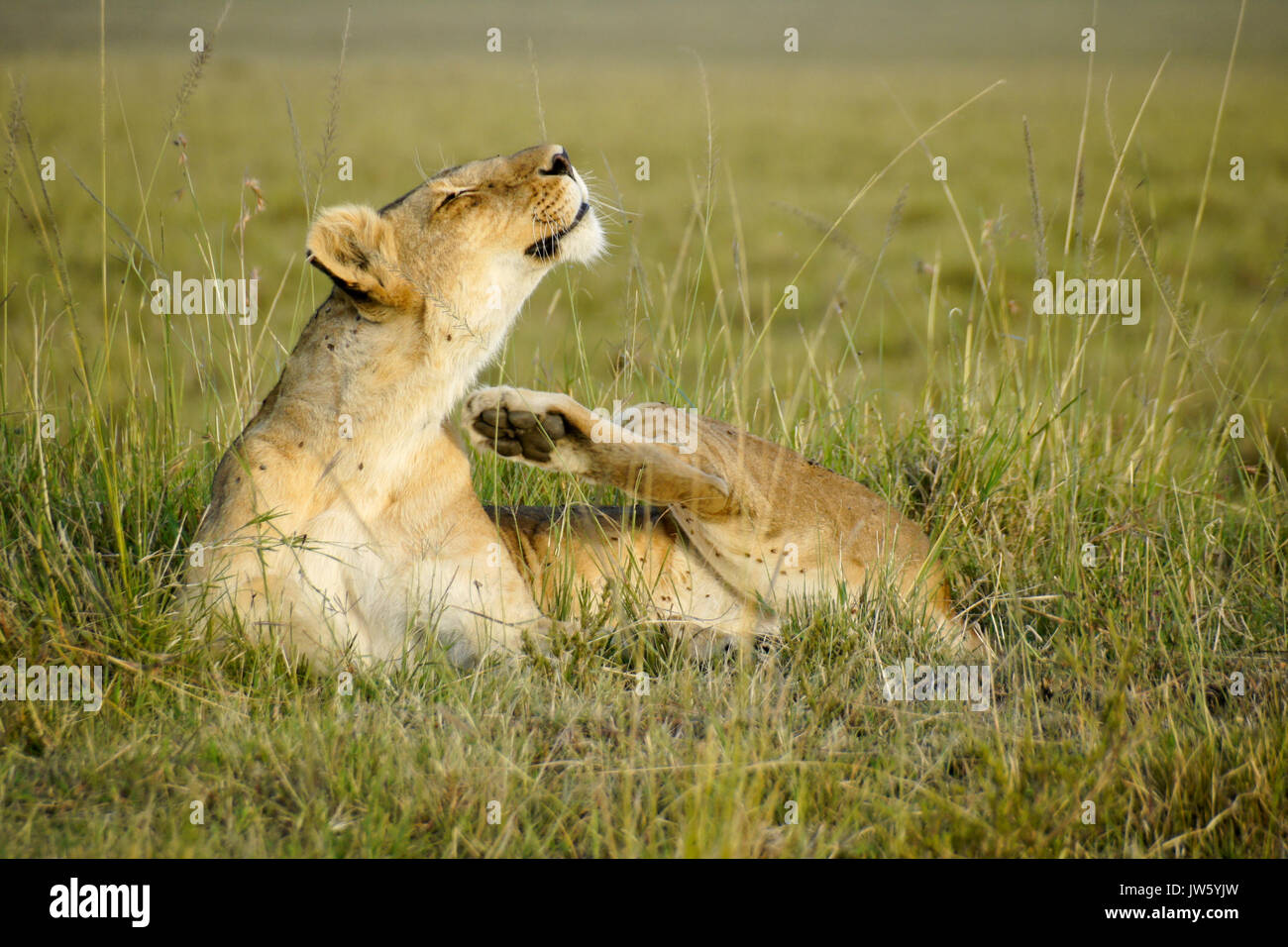 Lioness scratching, bothered by flies, Masai Mara Game Reserve, Kenya - Stock Image