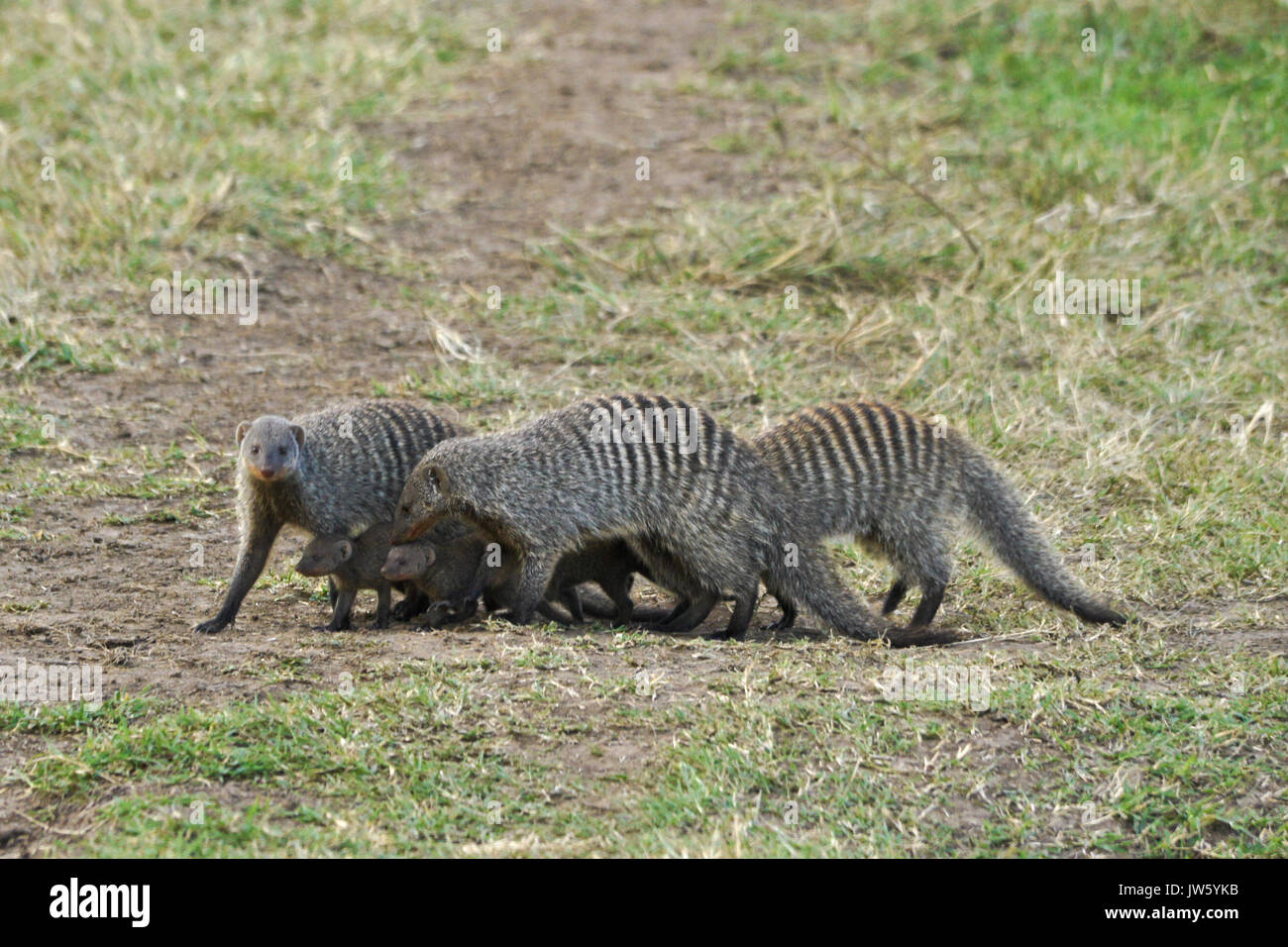 Banded mongooses protecting young from predators as they cross open area, Masai Mara Game Reserve, Kenya - Stock Image