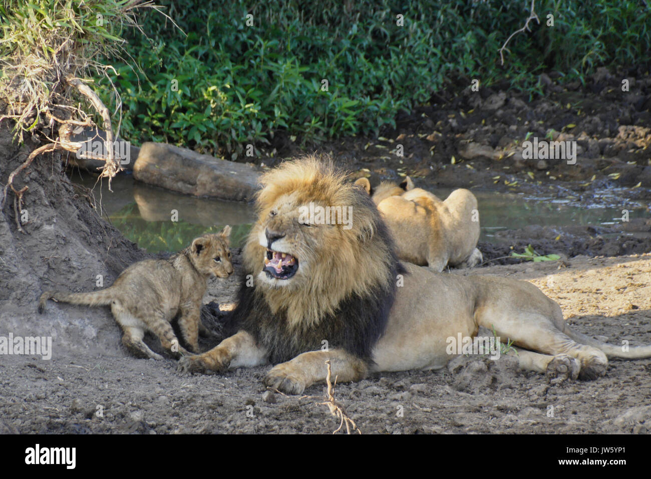 Male lion annoyed by his cub while lioness drinks from pool in background, Masai Mara Game Reserve, Kenya - Stock Image