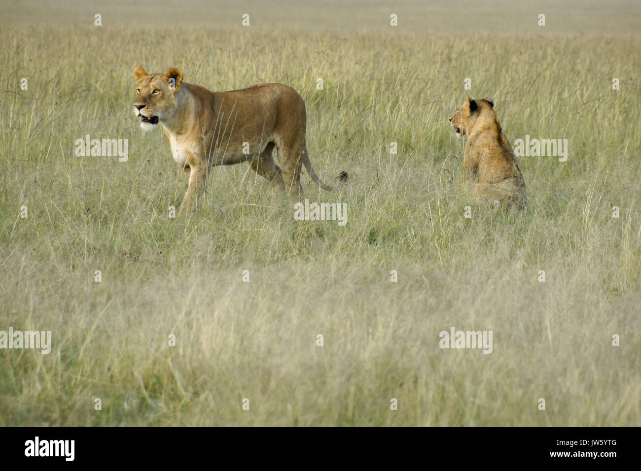 Two lionesses in long grass, Masai Mara Game Reserve, Kenya Stock Photo