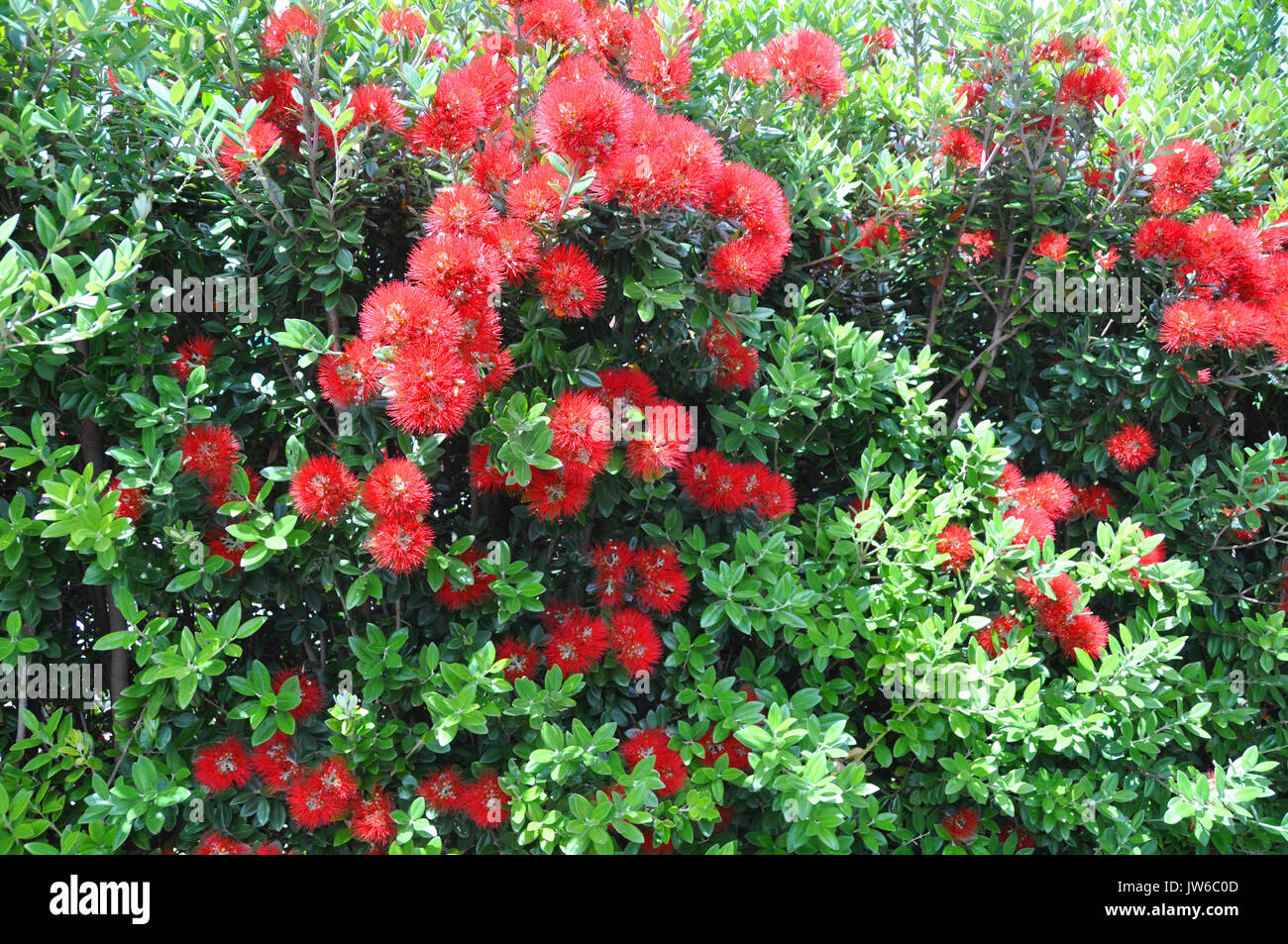 Pohutukawa Hedge Also Known As New Zealand S Christmas Tree Because
