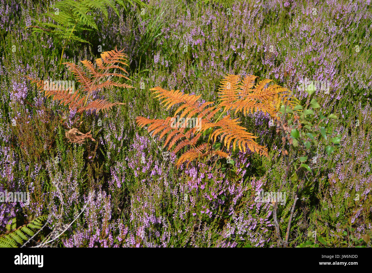 Golden Bracken and Heather - Stock Image