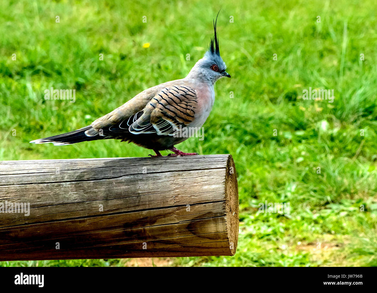Spinifex pigeon or red plumed pigeon - Stock Image