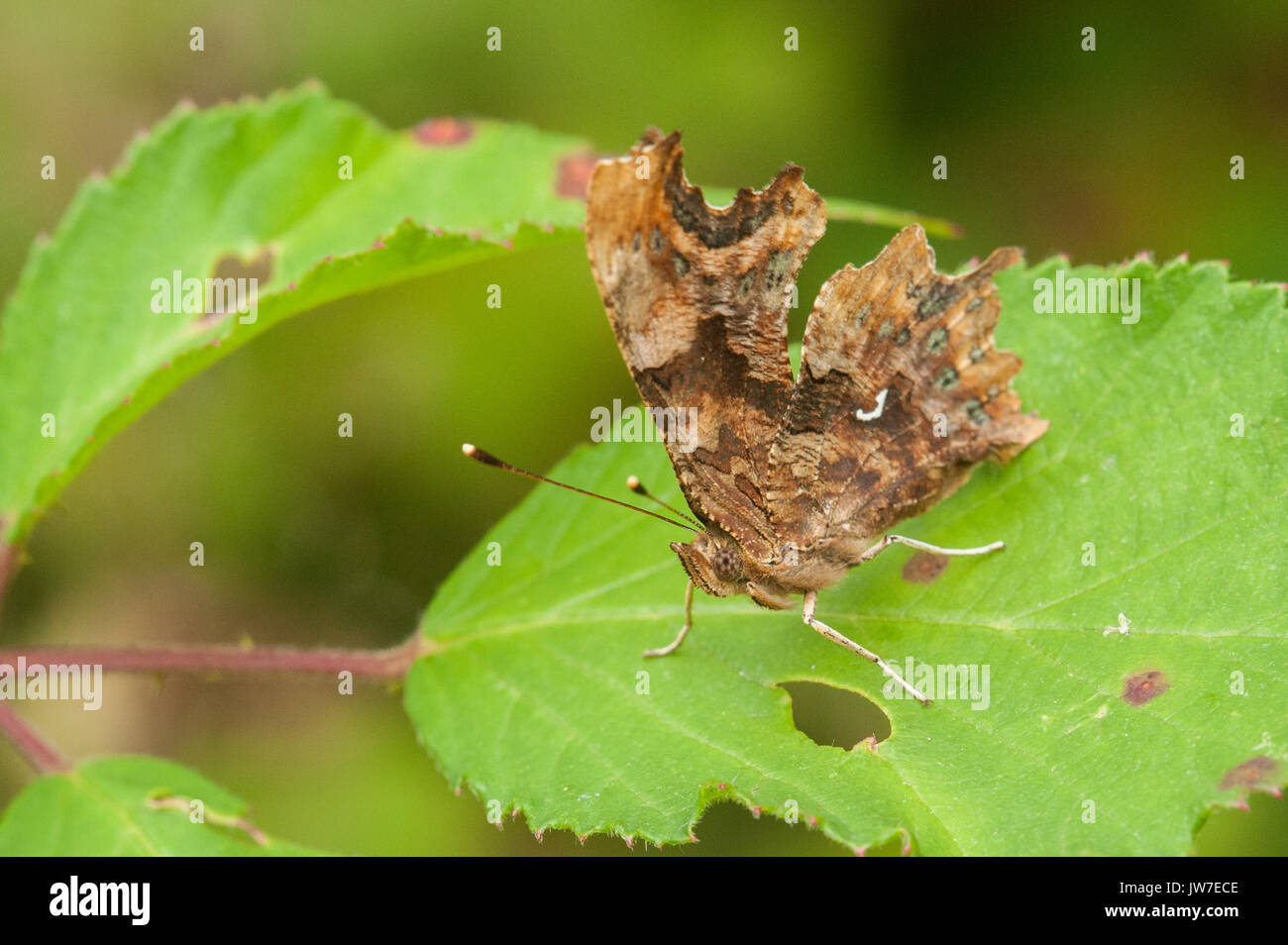 Comma butterfly showing underwing comma - Stock Image
