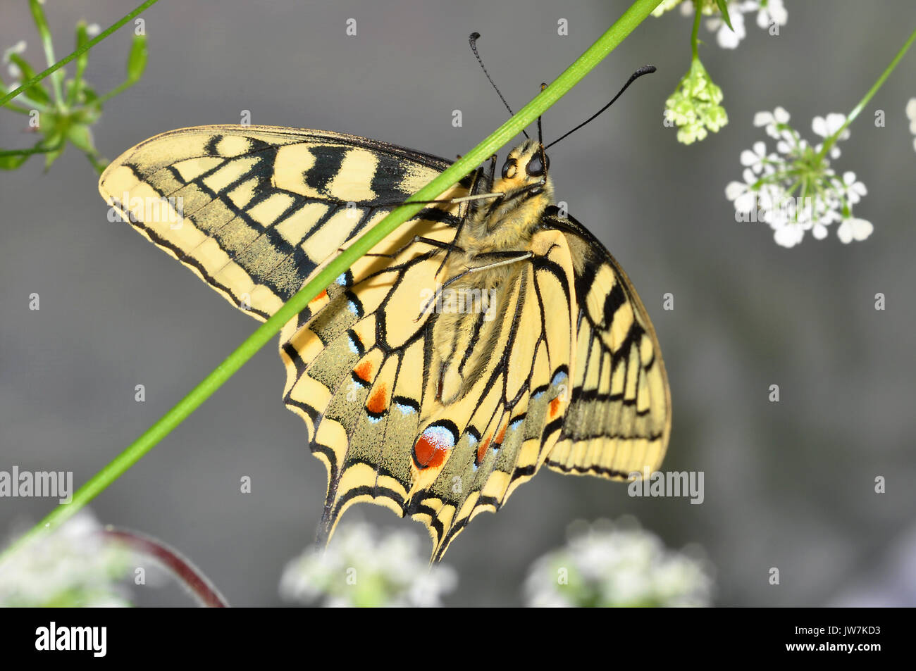 English Swallowtail Butterfly (Papilio machaon britannicus) - Stock Image