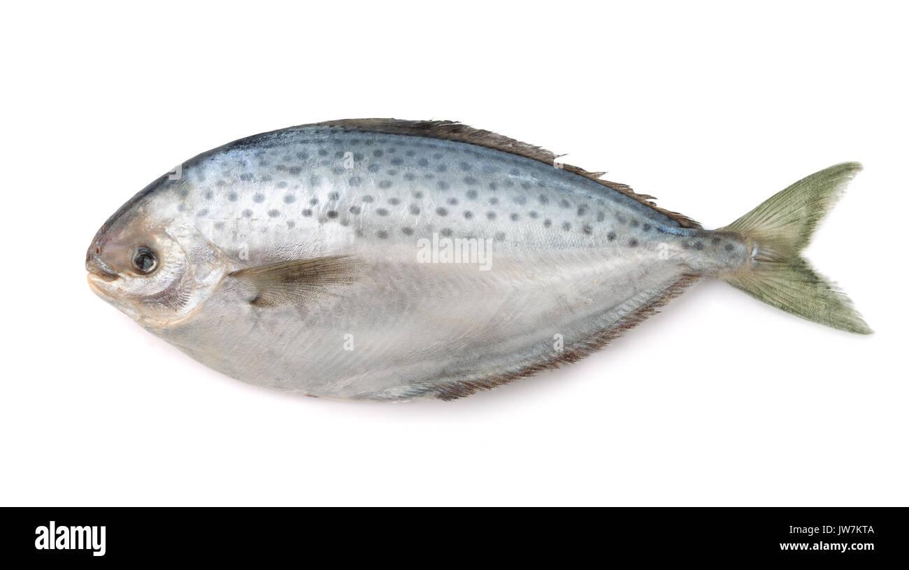 Fresh pampanito fish isolated on white - Stock Image