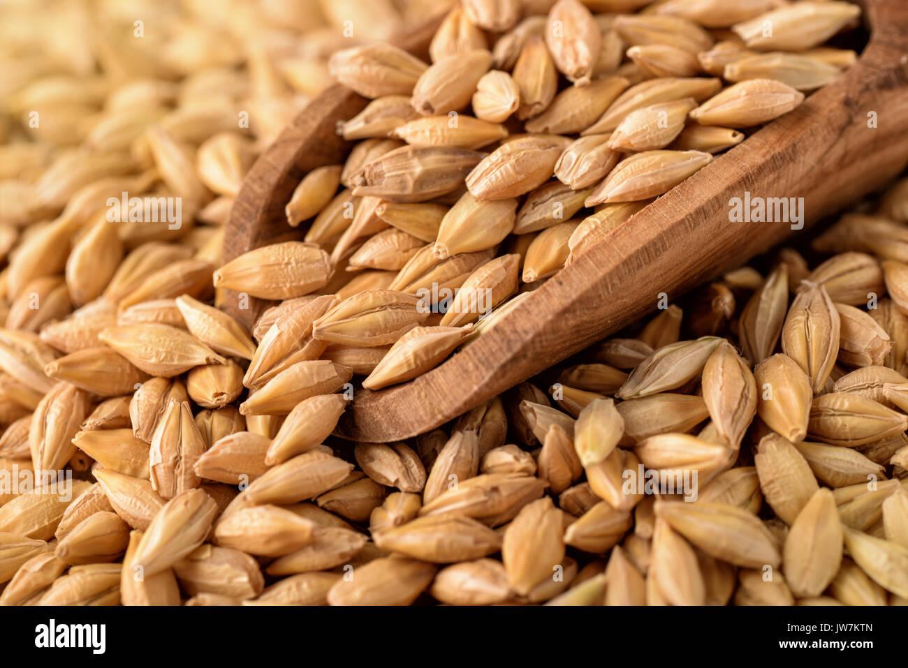 Close up of barley grains - Stock Image