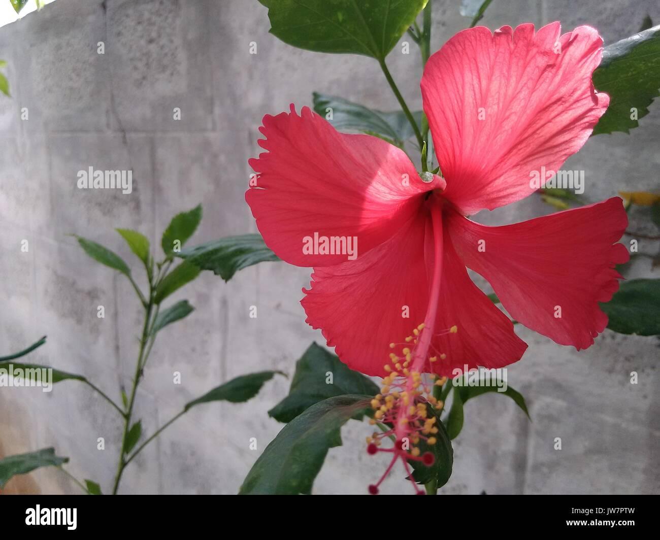 Haiti national flower stock photos haiti national flower stock hibiscus on plant stock image izmirmasajfo