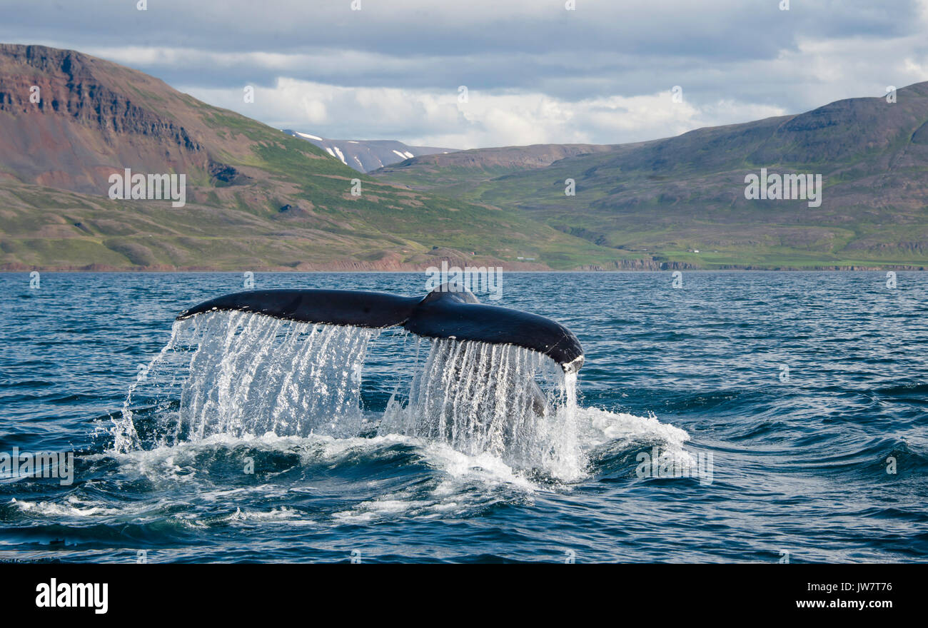 Humpback tail fluke as a humpback dives in Eyjafjordur Fjord in northern Iceland. - Stock Image