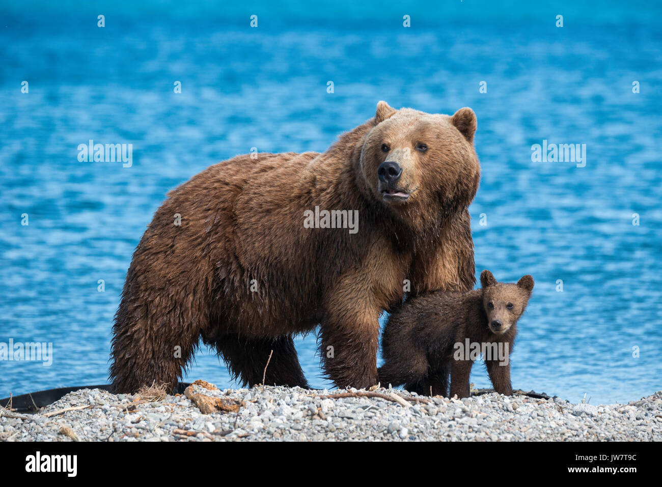 Mother brown bear and one of her cub on alert at the edge of Kuril Lake, Kamchatka, Russia. - Stock Image