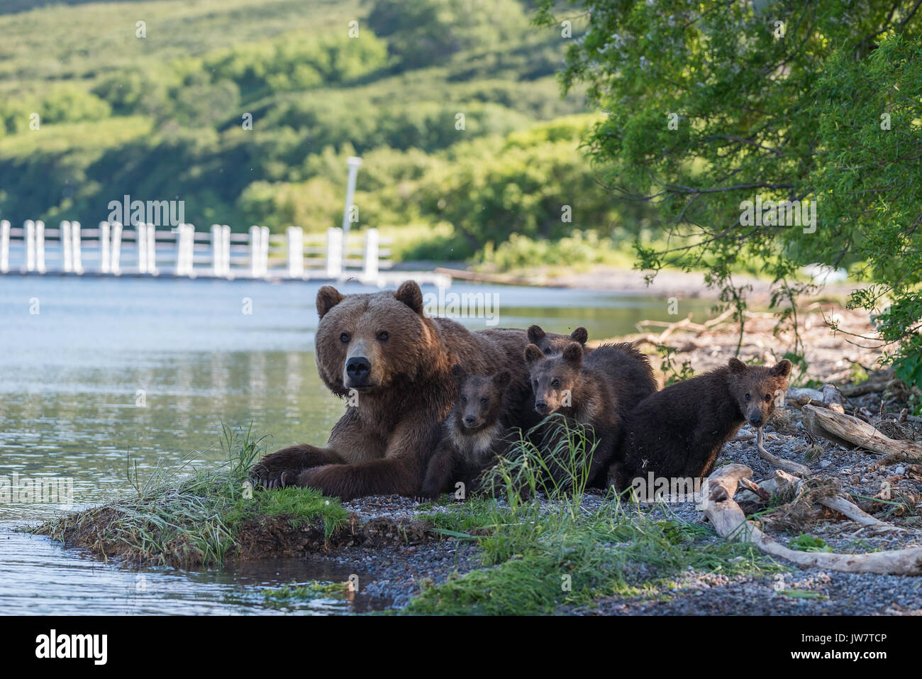 Mother brown bear and her four cubs resting in the shade at the edge of Kuril Lake, Kamchatka, Russia. - Stock Image