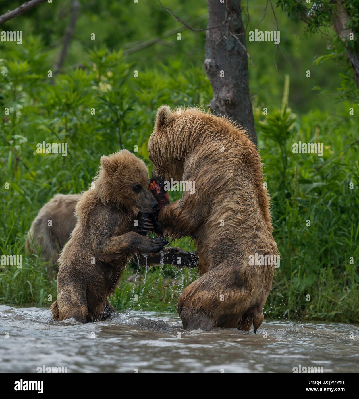 Brown bear cub trying to wrestle sockeye salmon from it's mother. Image was taken in the river systems draining into Kuril Lake, Kamchatka, Russia. - Stock Image