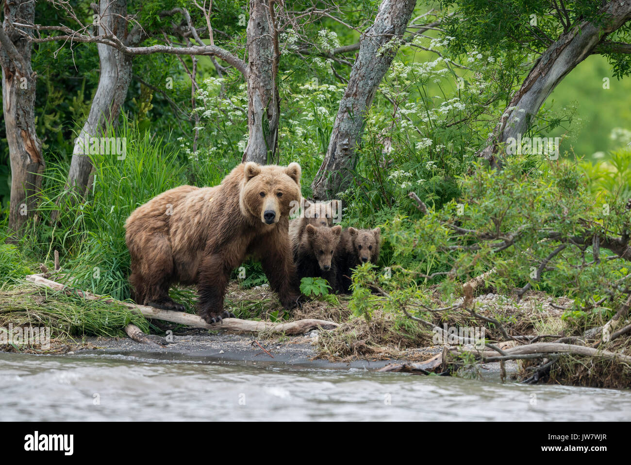 Mother brown bear and her four cubs looking for sockeye salmon on the banks of the Ozernaya River, Kamchatka, Russia. - Stock Image