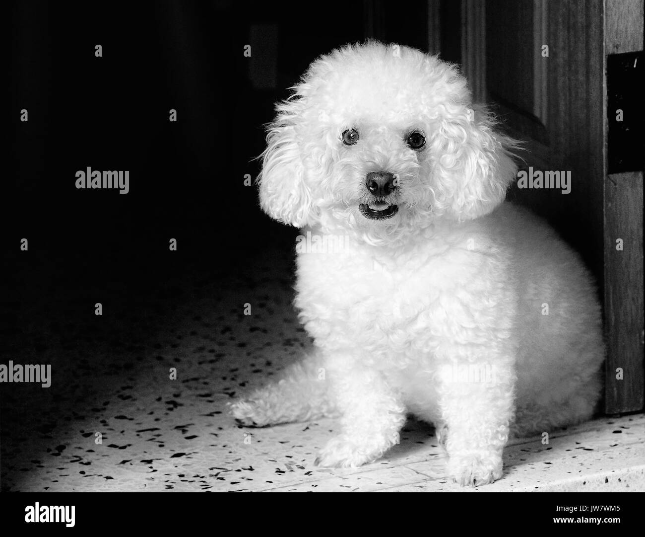 Toy Poodle Black and White Stock Photos & Images - Alamy