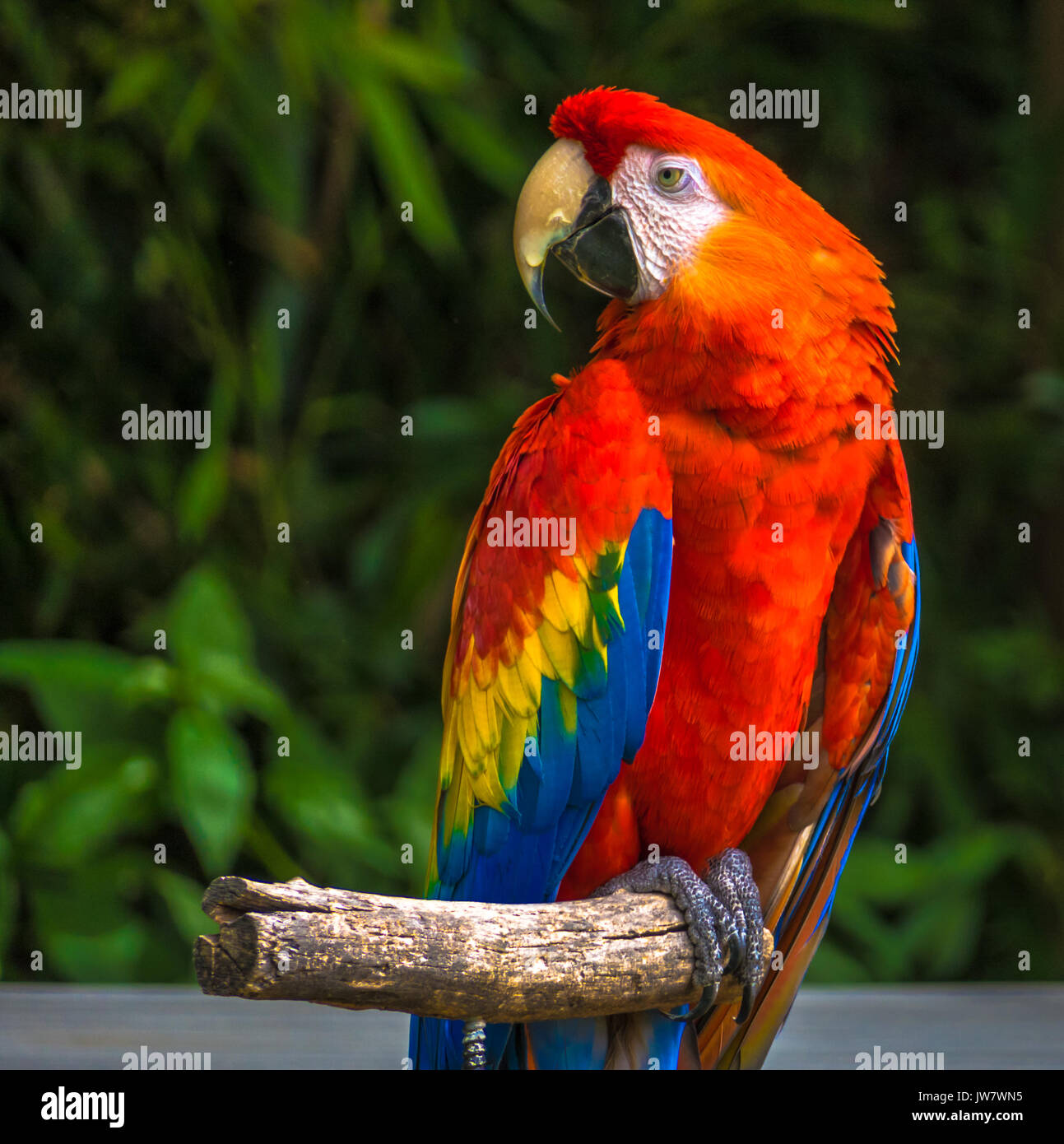 Red Parrot sitting on wooden stick - Stock Image