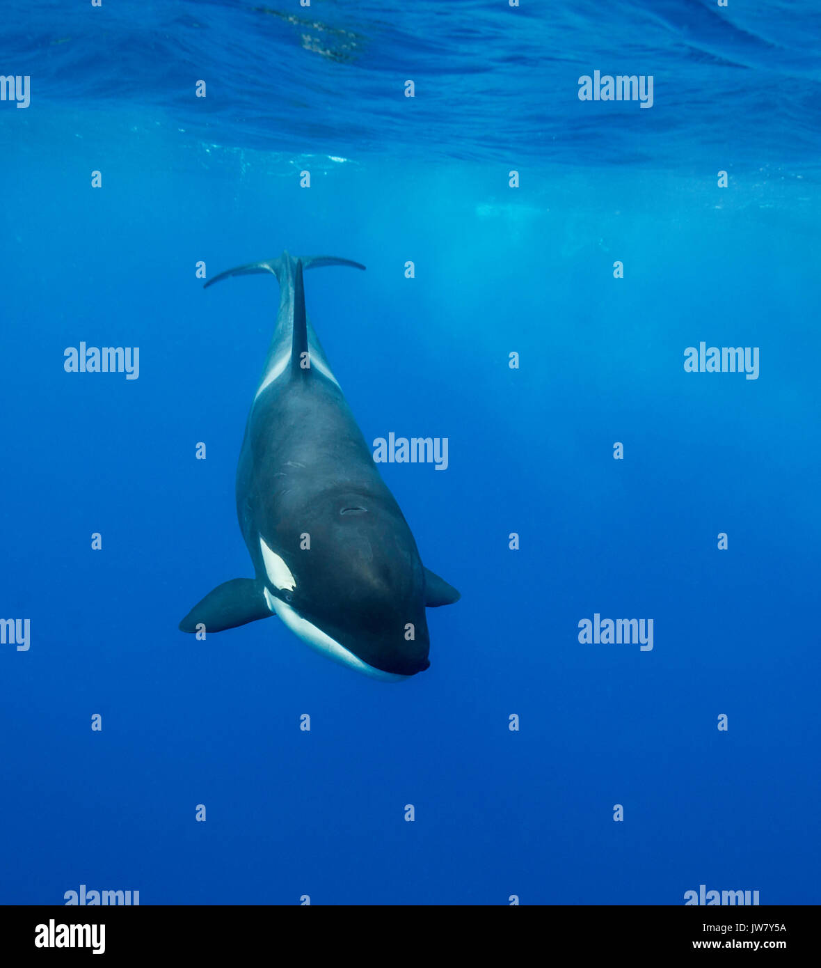 Female orca swimming near the surface, North Island, New Zealand. - Stock Image