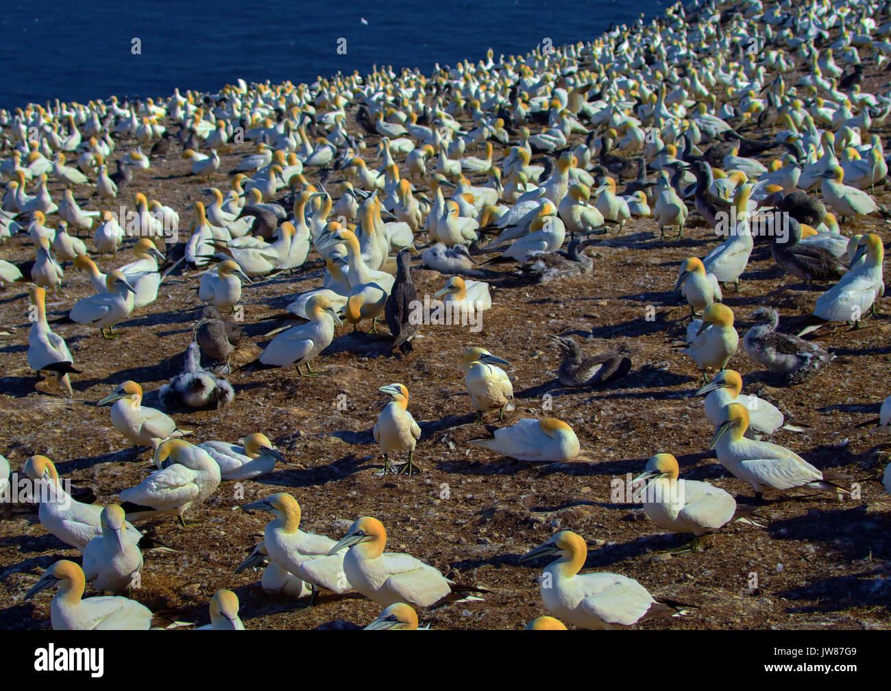 America, Canada, Quebec, Gaspésie, Percé area, The Bonaventure island andl park, the gannets birds - Stock Image