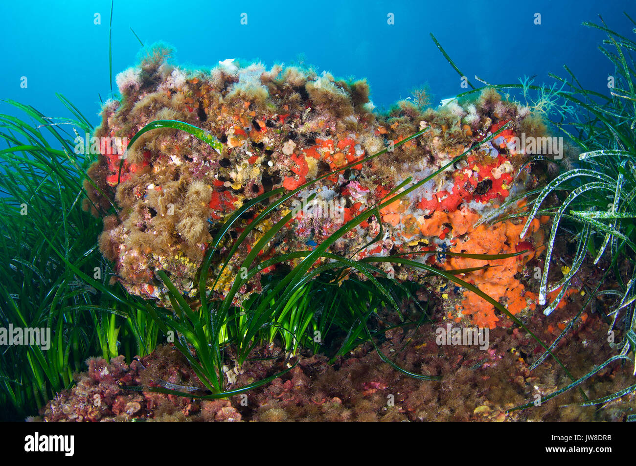Curious reef formation lies between neptune seagrass (Posidonia oceanic) meadows at Ses Salines Natural Park (Formentera, Balearic Islands, Spain) - Stock Image