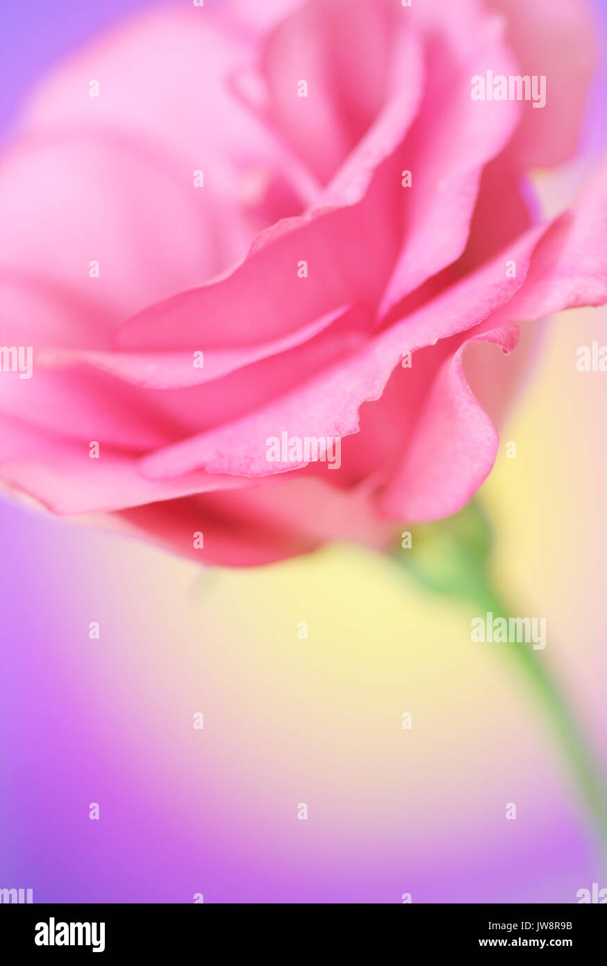 Close-up of  lisianthus flower - Stock Image