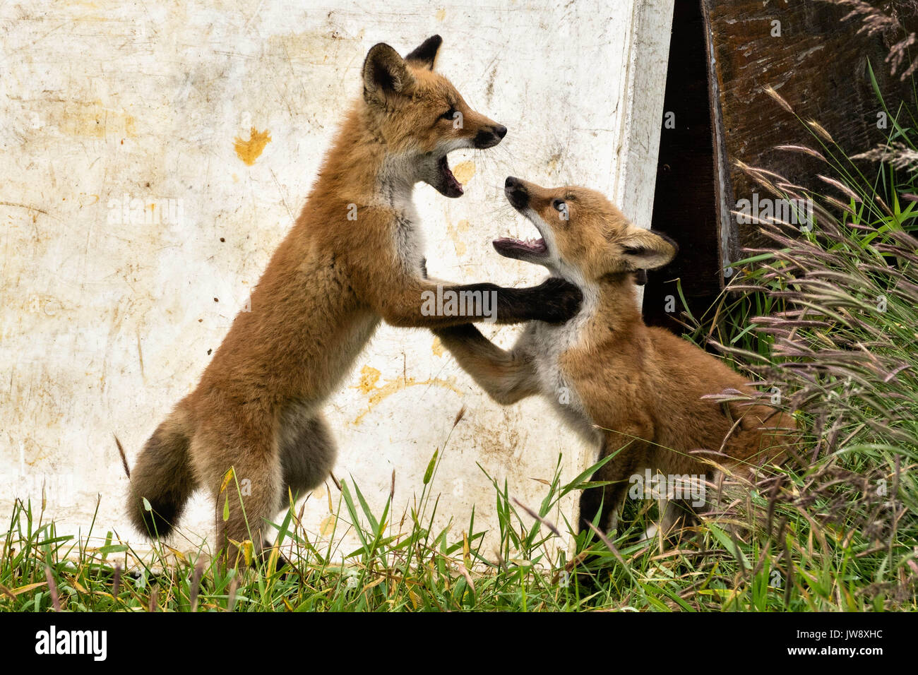 A red fox kits play at the McNeil River State Game Sanctuary on the Kenai Peninsula, Alaska. The remote site is accessed only with a special permit and is the world's largest seasonal population of brown bears in their natural environment. - Stock Image