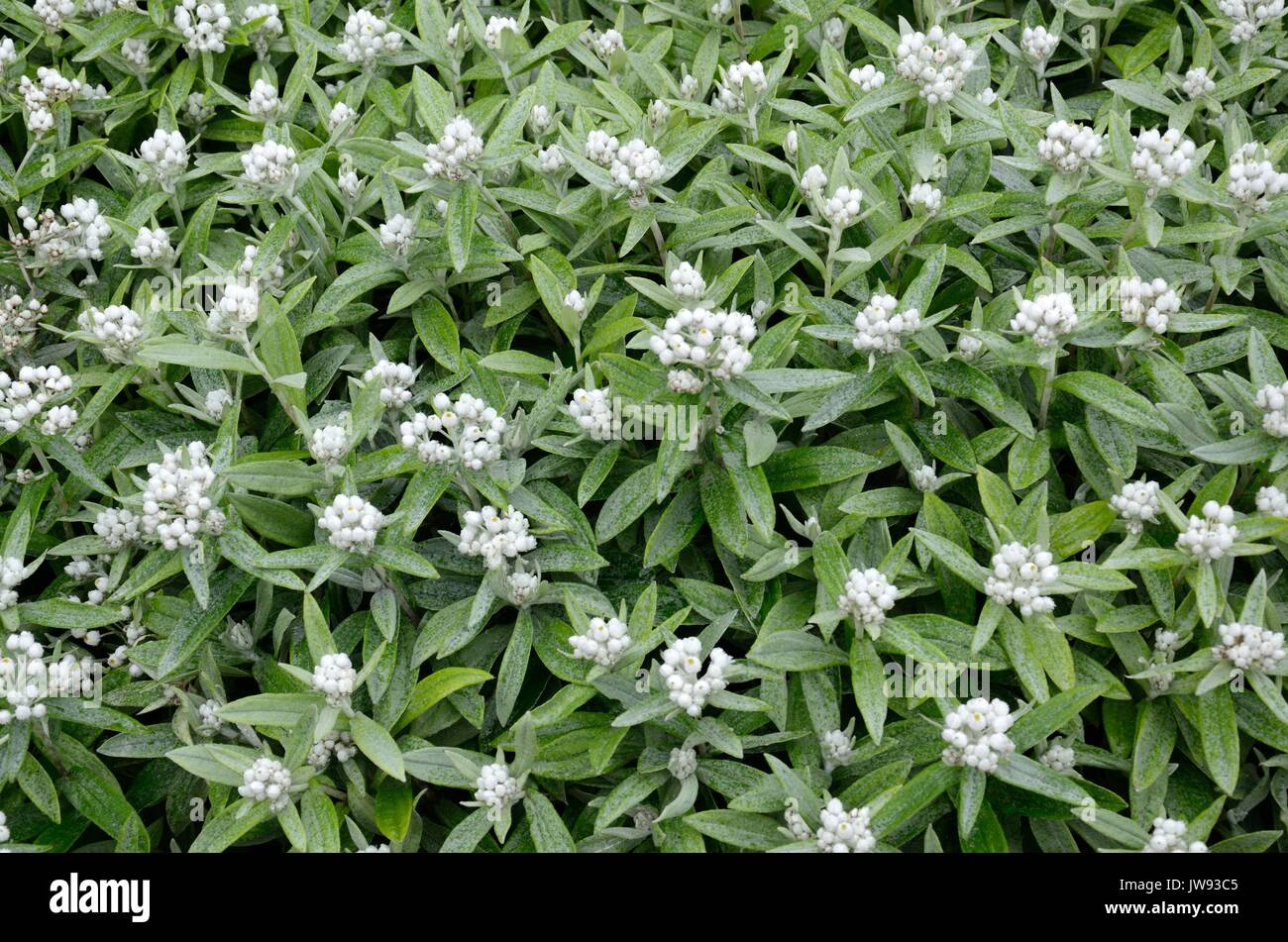 Clusters of small white flowers stock photos clusters of small anaphalis triplinervis sommershnee white everlasting flowers stock image mightylinksfo