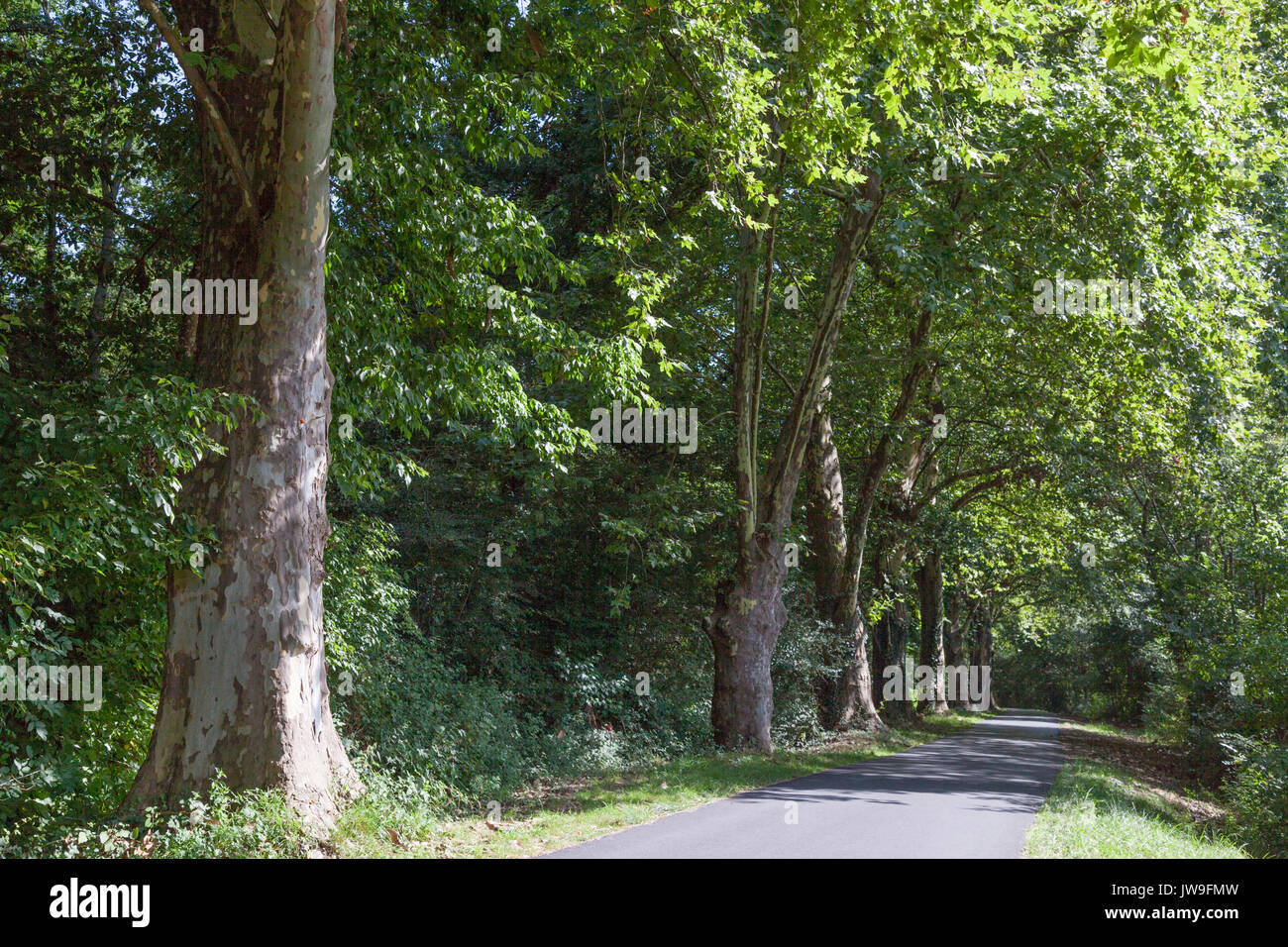 A row of several hundred year old plane trees, on the ex-towpath of the Adour river (Saubusse - France). In Summer, plane trees exfoliate their bark. - Stock Image