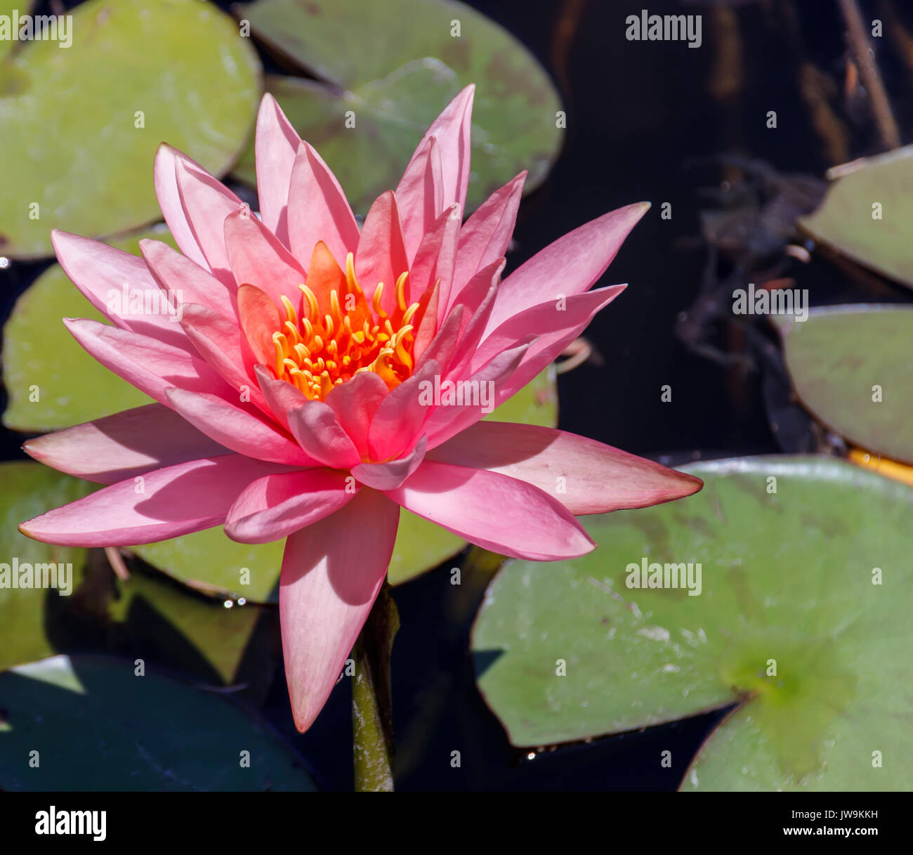 Big lotus leaves stock photos big lotus leaves stock images alamy big head of a pink lotus with leaves stock image mightylinksfo