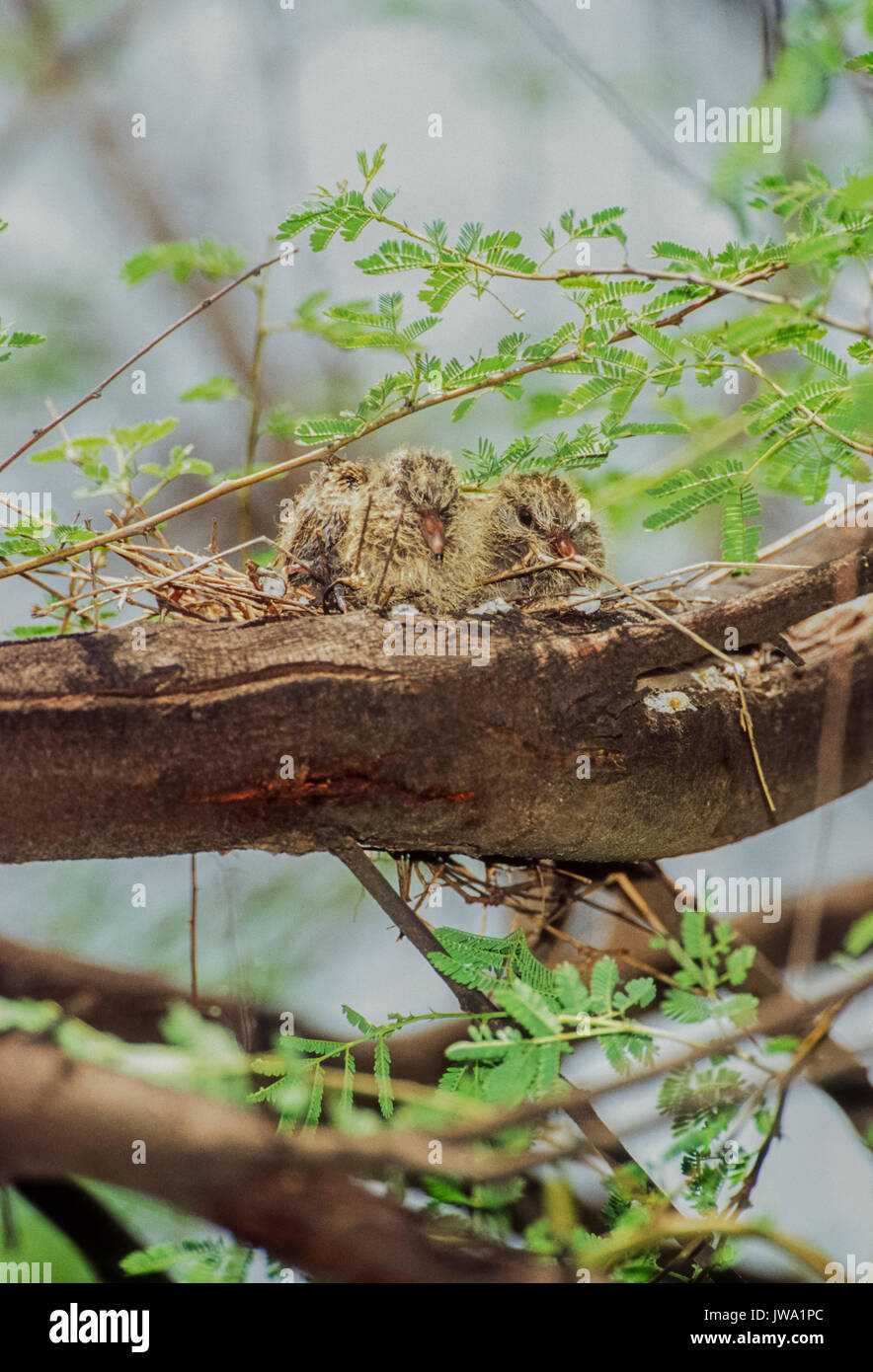 two Collared Dove squabs,(Streptopelia decaocto), perched on branch,Keoladeo Ghana National Park, Bharatpur, Rajasthan, India - Stock Image