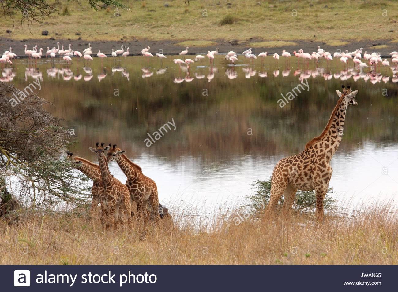 Giraffe and lesser flamingos. - Stock Image