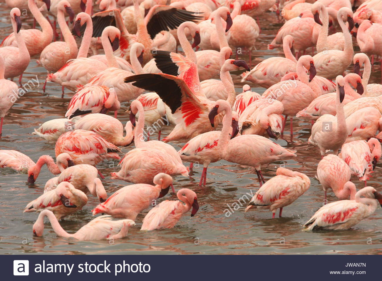 Lesser flamingos,Phoeniconaias minor. - Stock Image