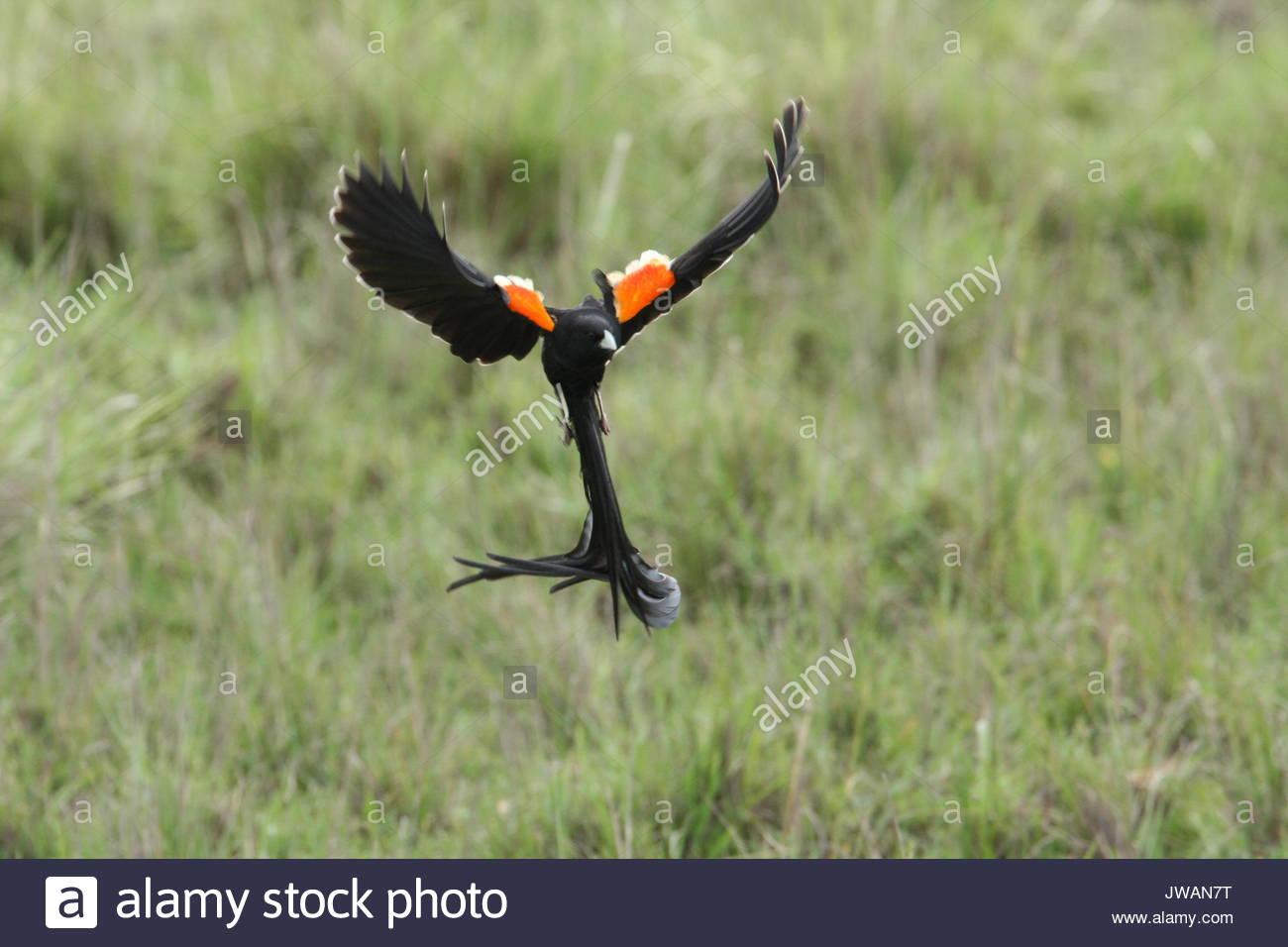 Long-tailed widowbird,Euplectes progne. - Stock Image