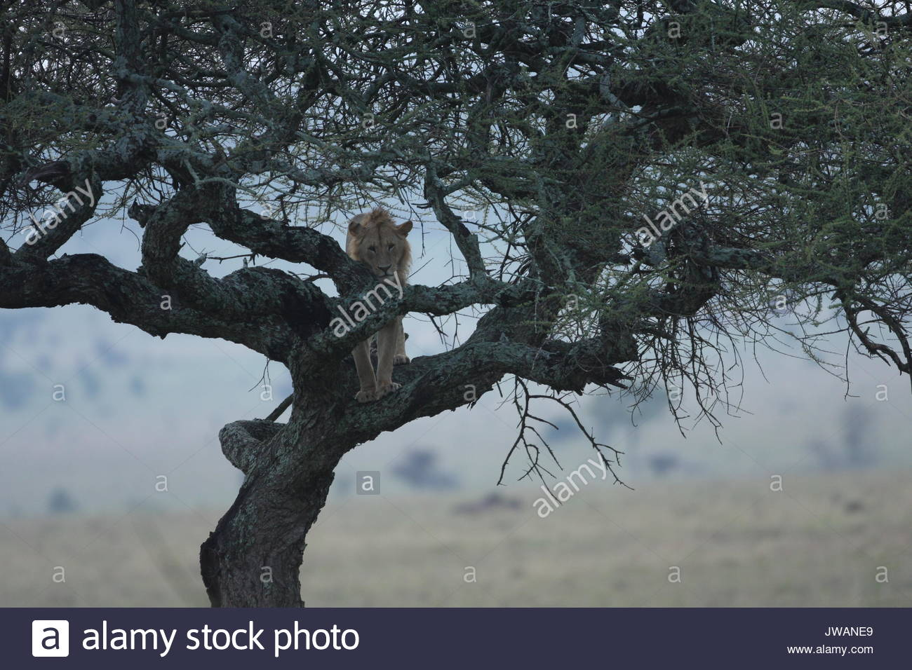 Lion,Panthera leo. It is rare to see a lion in a tree. Lions are the biggest cats and just like a house cat,this young male lion got stuck in a tree. - Stock Image