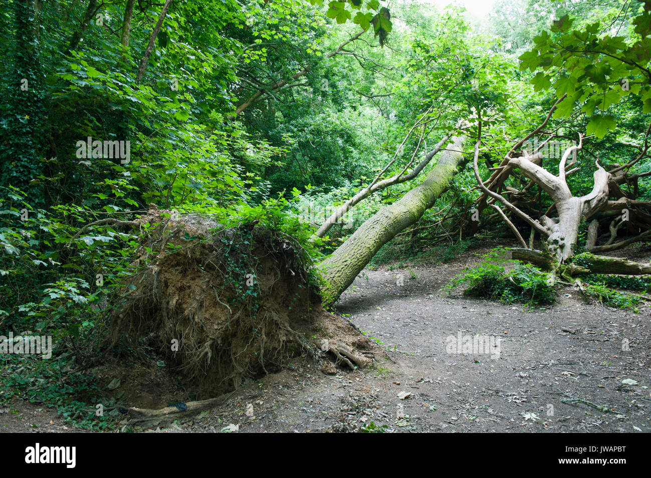 Fallen Tree at Tehidy Country Park Gardens in Cornwall - Stock Image