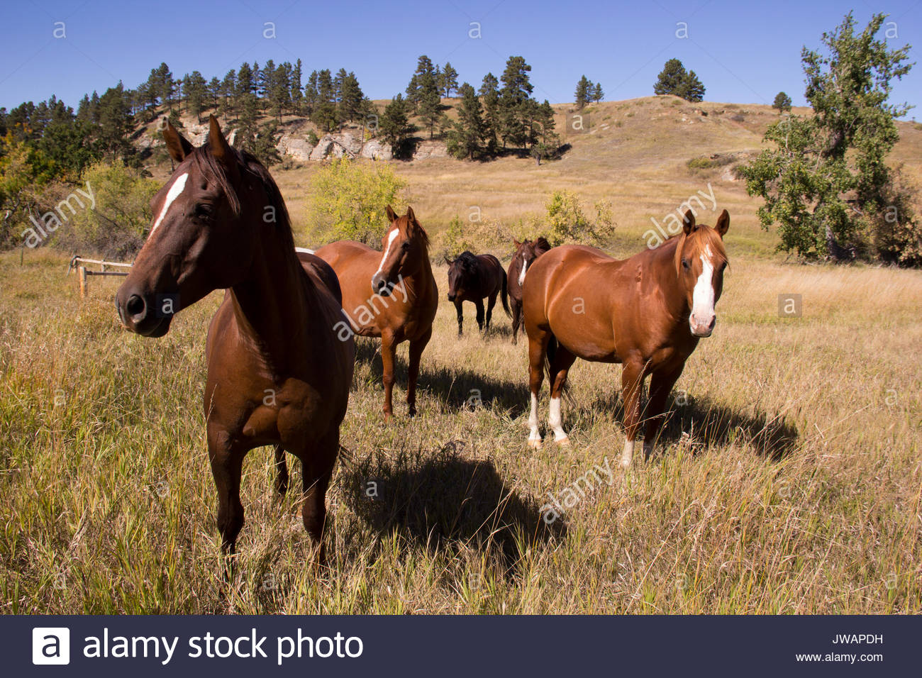 Pastured horses in a hilly western landscape. - Stock Image