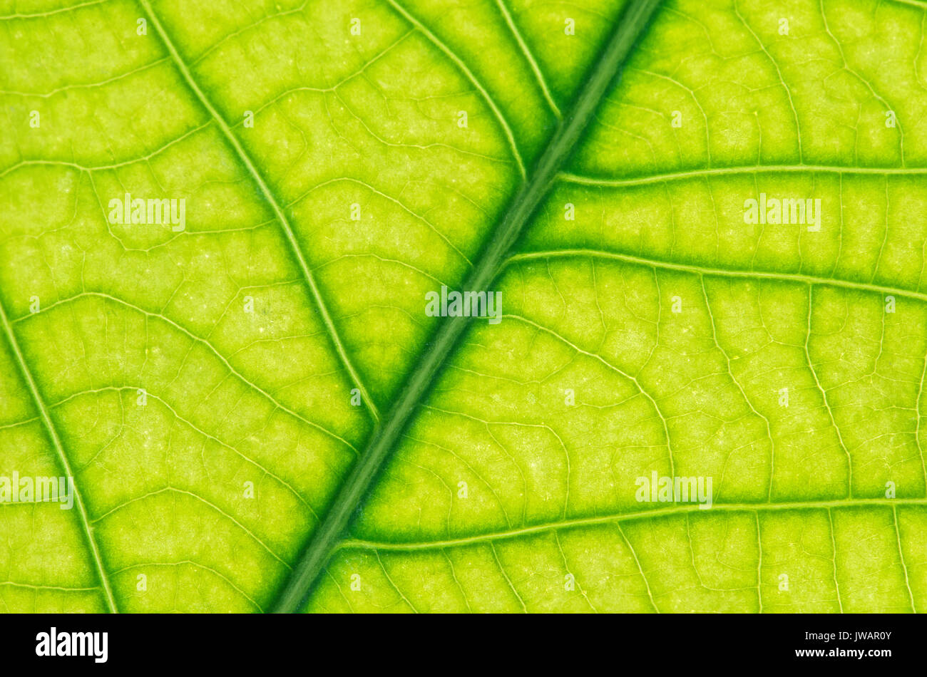 Net-like leaf veining, leaf of black pepper (Piper nigrum) - Stock Image