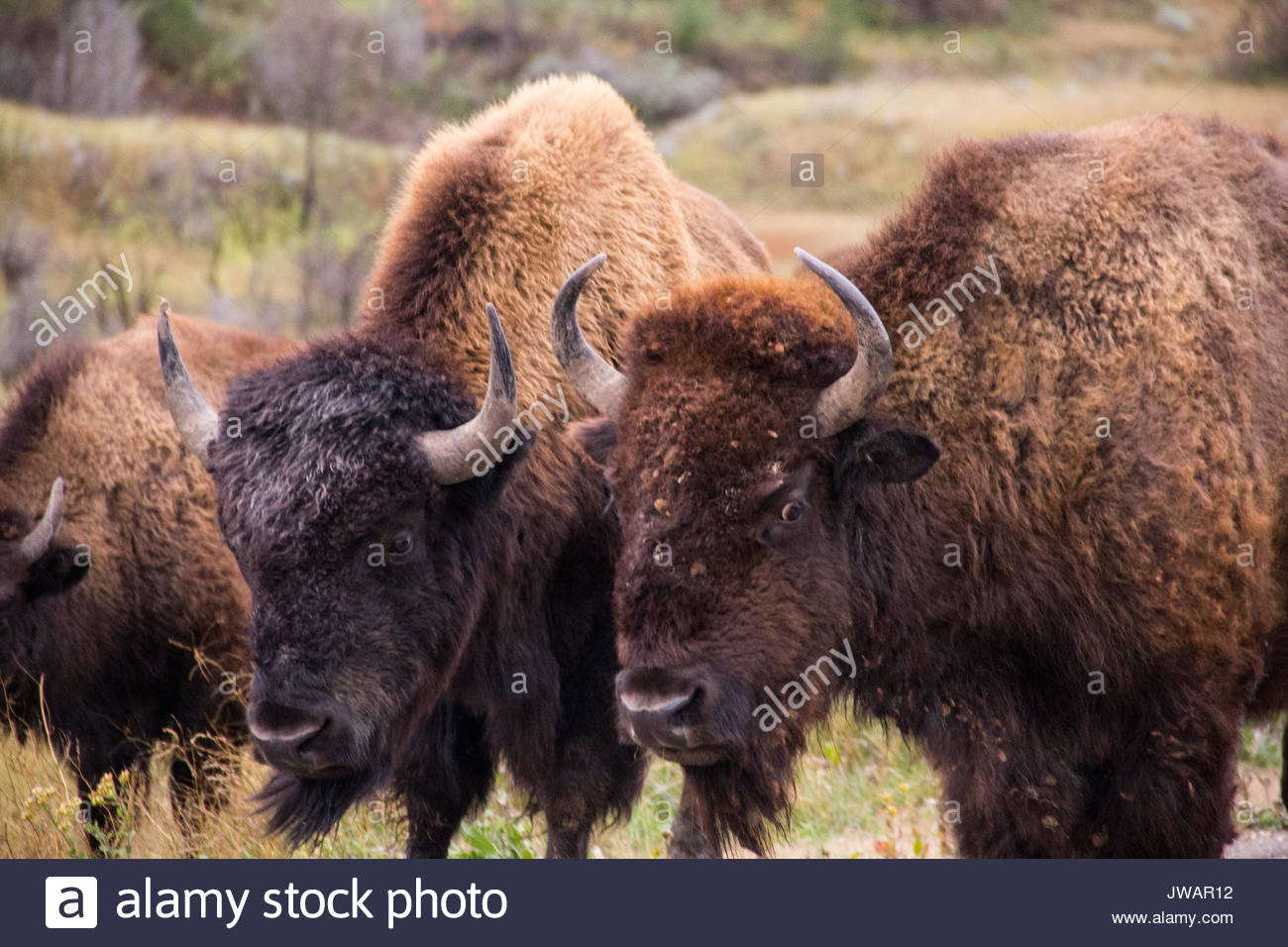 A trio of hump-backed wild American bison. - Stock Image