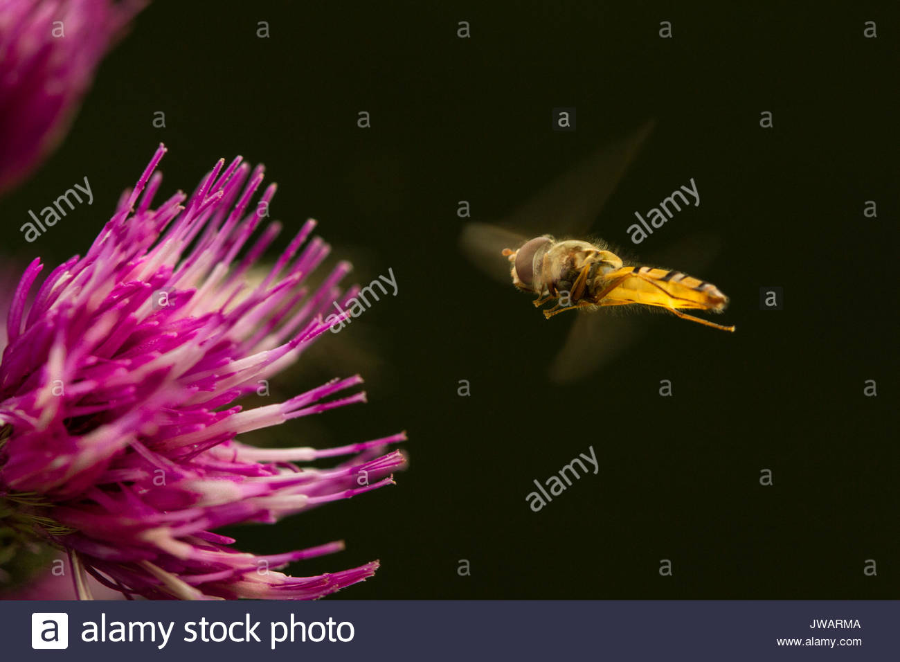 A sweat bee approaches a carduus flower. - Stock Image