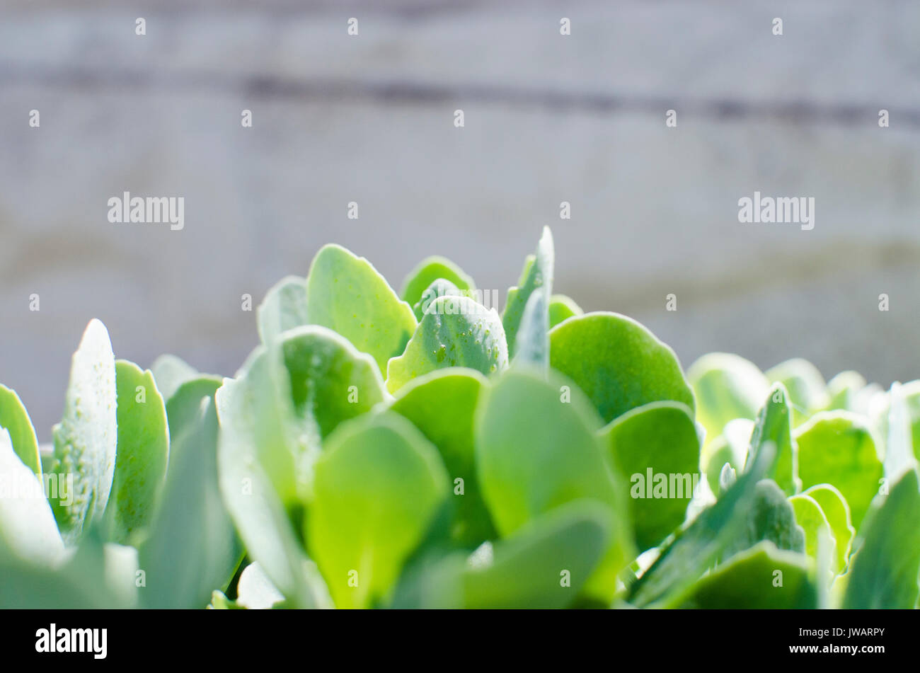 Green succulent sedum plant with simple landscape orientation growing and shining under the spring sun.  Light and airy image. - Stock Image